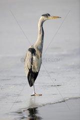 Graureiher Ardea cinerea  steht im Winter auf zugefrorenem See -