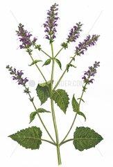 Wiesensalbei Salvia pratensis Heilkraeuter