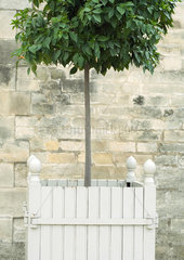Topiary tree in wooden container