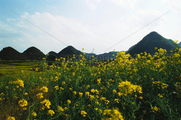 Fields of rapeseed flowers and hills in Luoping county  Yunnan province  China