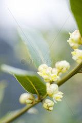 Flowering sapindaceae plant