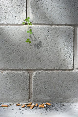 Weed growing out from crack in wall  discarded cigarette butts on ground