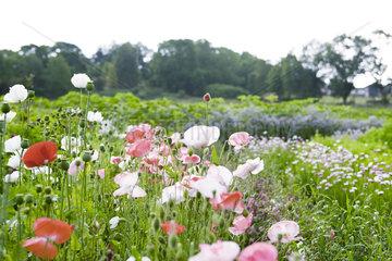 Poppy flowers growing in garden
