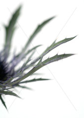 Thistle  cropped
