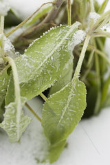 Sage plant frosted with snow