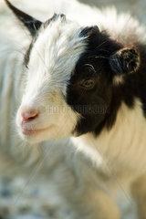 Kid goat  close-up
