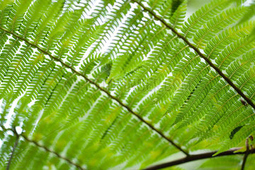 Fern leaf  extreme close-up