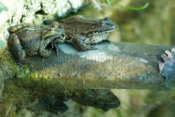 Natterjack toads sitting on rock  reflections in water