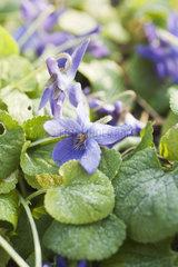 Flowering violet