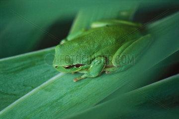 Mediterranean Tree Frog (Hyla meridionalis)