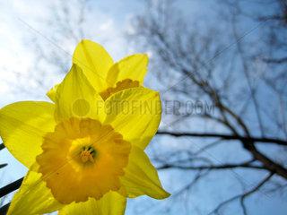 Stuttgart  Deutschland  gelbe Narzissen  auch Osterglocken genannt