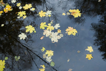 Maple leaves floating on surface of pond