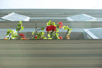 Branches of geranium emerging from windowsill  low angle view