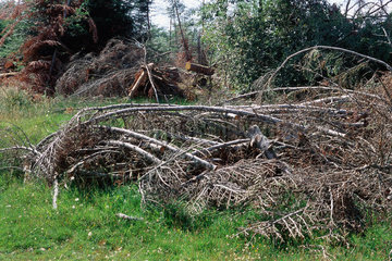 Piles of dead branches after storm