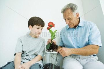 Mature man sitting with grandson  potting gerbera daisies