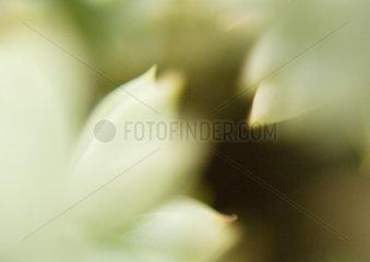 Sedum  extreme close-up