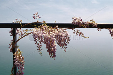 Wisteria vine growing on railing  sea in background