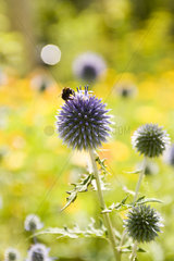 Buff-tailed Bumblebee (Bombus terrestris) gathering pollen on Small Globe Thistle flower (Echinops ritro)