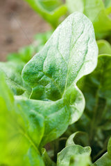 Sorrel plant growing in vegetable garden