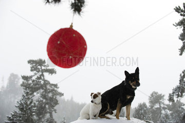 Dogs sitting together on snowy mound in forest  Christmas ornament hanging from branch in foreground