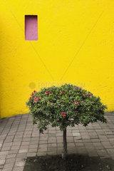 Azalea tree growing in courtyard