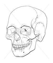 Line illustration of a human skull.