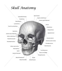 Black and white illustration of a human skull with labels.