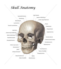Color illustration of a human skull with labels.