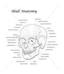 Line illustration of a human skull with labels.