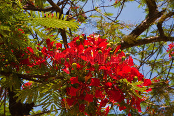 Blooms of the FIRE TREE (Myrica faya) in the town of n KENGTUNG also known as KYAINGTONG  MYANMAR