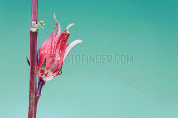 Exotic red tropical flower blossoming from red stem