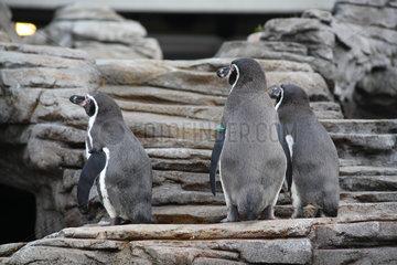 Stralsund  Deutschland  Humboldt-Pinguine im Naturkundemuseum Ozeaneum