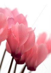 Cyclamen blossoms