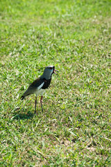 Southern Lapwing bird (Vanellus chilensis)