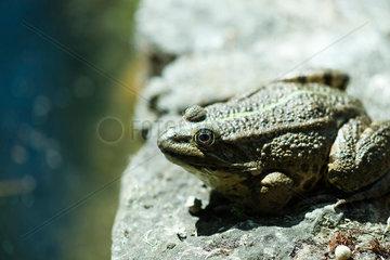 Natterjack toad basking on rock