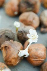 Crocus bulbs blooming