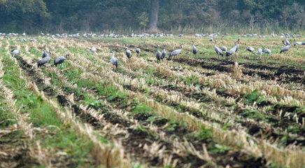 Langen  Kraniche auf einem Feld