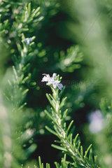 Rosemary plant  close-up
