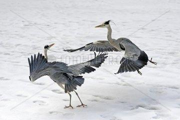 Graureiher Ardea cinerea  streiten im Winter