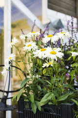 Daisies growing in planter