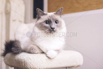 Ragdoll cat lying down  portrait