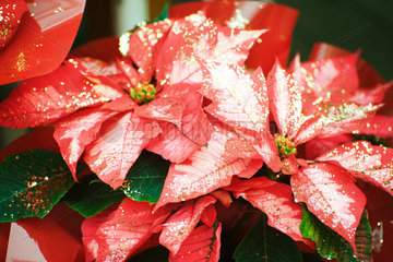 Poinsettia decorated with glitter