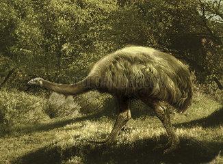 Euryapteryx flightless bird from New Zealand.