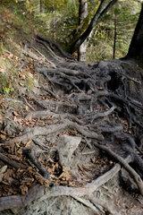 Bonndorf  Deutschland  Baumwurzeln in der Wutachschlucht