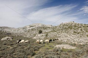 Schafen auf dem Monte Corrasi