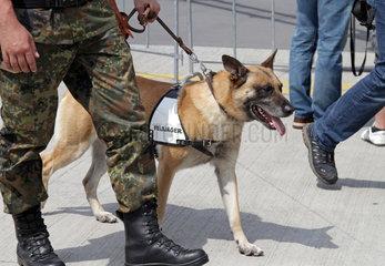Schoenefeld  Deutschland  Diensthund der Feldjaegertruppe der Bundeswehr