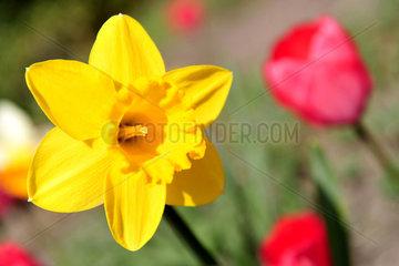 Wardenburg  Deutschland  Narzisse und Tulpen in einem Garten
