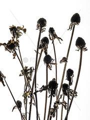 Vertrocknete Blumen