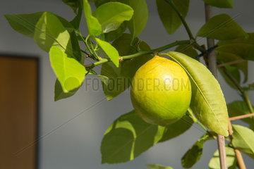 Berlin  Deutschland  Zitrone an einem Indoor-Zitronenbaum