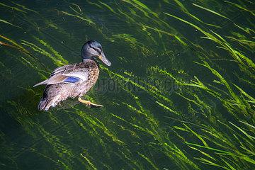Ente schwimmt im Seegras